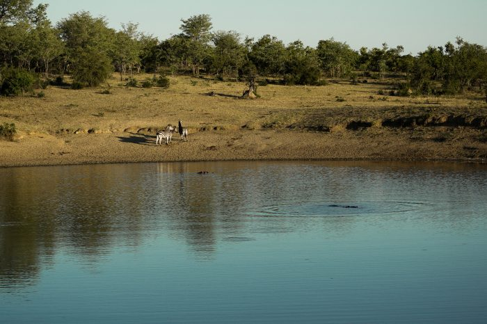 Zebra and hippos at a watering hole - Kruger National Park, South Africa