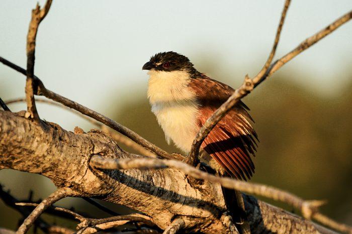 Bird at sunrise - Kruger National Park, South Africa