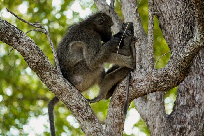 Monkey business - Kruger National Park, South Africa